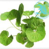 Anti Oxidant Centella Asiatica Extract -1