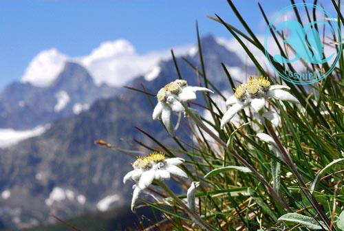 Chiết xuất hoa nhung tuyết