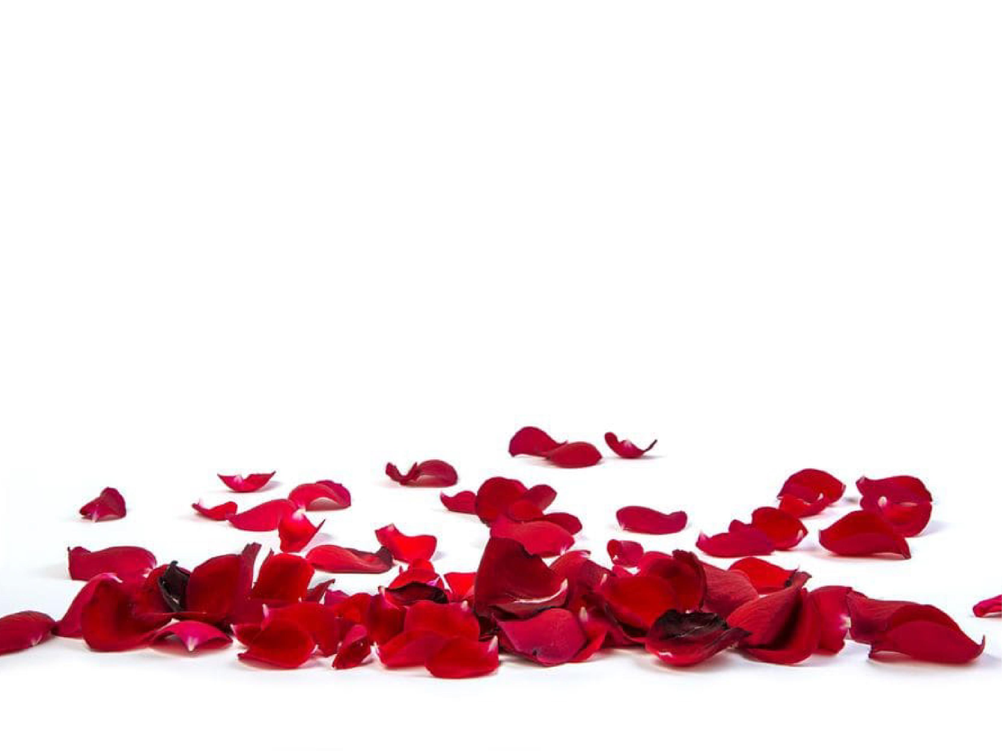 Cánh hoa hồng tươi để làm nước hoa hồng